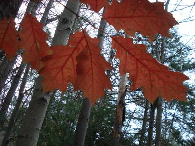 leaves2 six mile creek